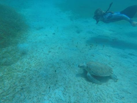 Tortue de mer à Culebra