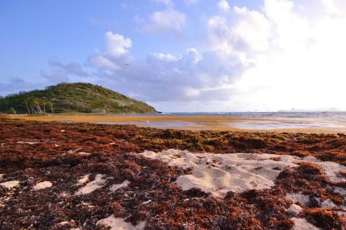La sargasse, cette algue qui envahit les plages et la mer des Caraïbes